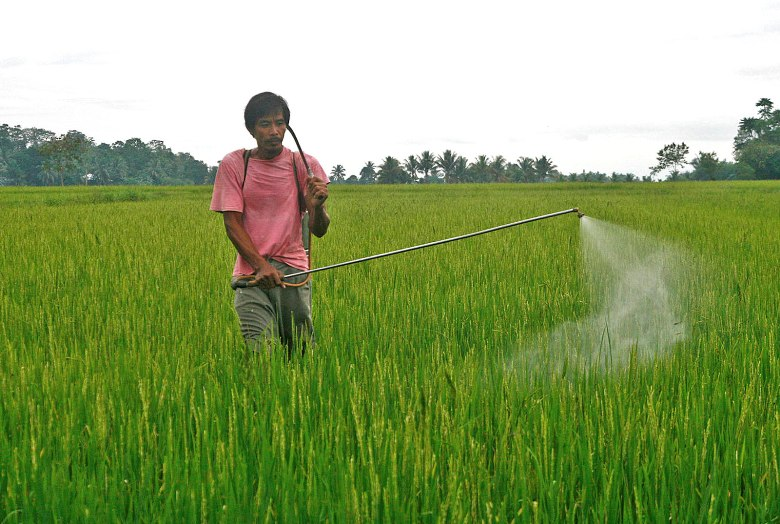 Filipino rice farmer spraying pesticides