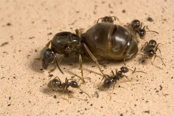 Queen Ant and worker ants